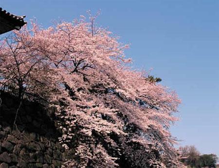 日本春光无限 幸福在铁轨上飞驰