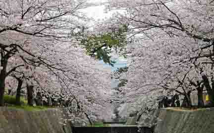 日本国春之物语——樱花