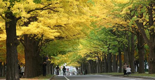 """北海道大学的华美""""殿堂""""   银杏步道"""