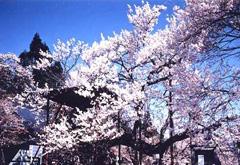 赏樱花佳处   名护城迹公园