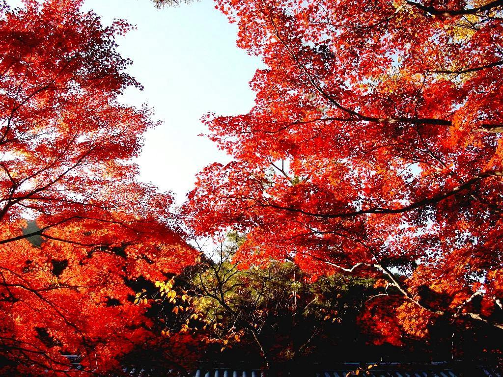桌面壁纸 日本红叶