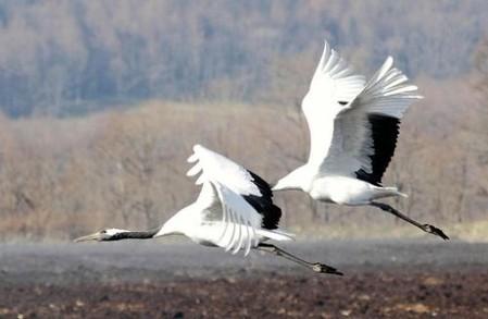 丹顶鹤过冬北海道宣告到来冬季的飞往-日本旅手游空海攻略联盟图片