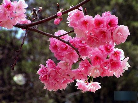 日本文化 樱花的传说-日本文化_日本历史_日本