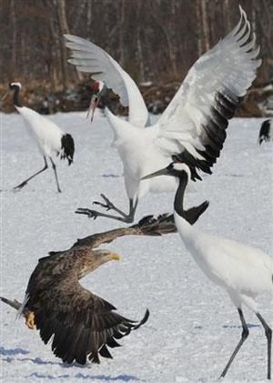 北海道国际动物保护中心丹顶鹤尾白鹫为争夺食物上演