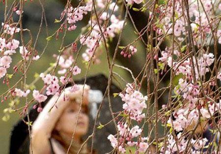 赴日樱花游 该如何赏樱花