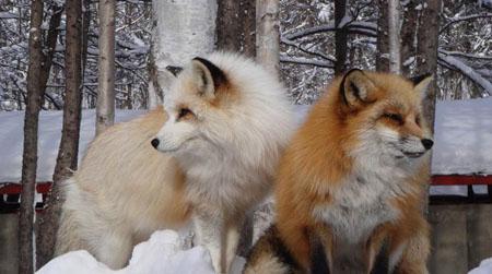 北海道北见狐狸村 感受狐狸灵动双眸