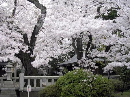 樱花节中哭泣的樱花  来年一定要开的更美丽