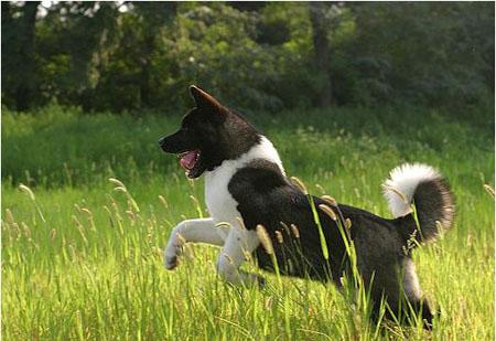 解读日本名犬   秋田犬