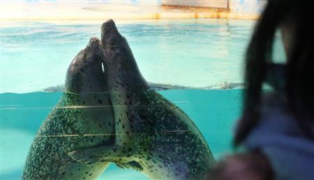 下田海中水族馆展示两头会拥抱接吻的斑海豹