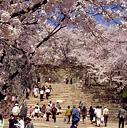 津山樱花节