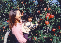 沼田 苹果采摘