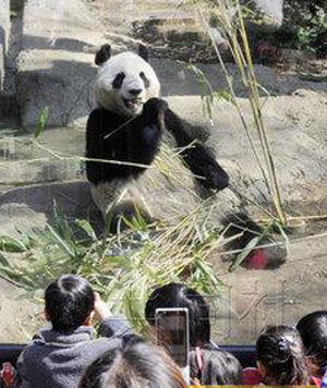 """上野动物园大熊猫""""人气""""依然旺盛"""