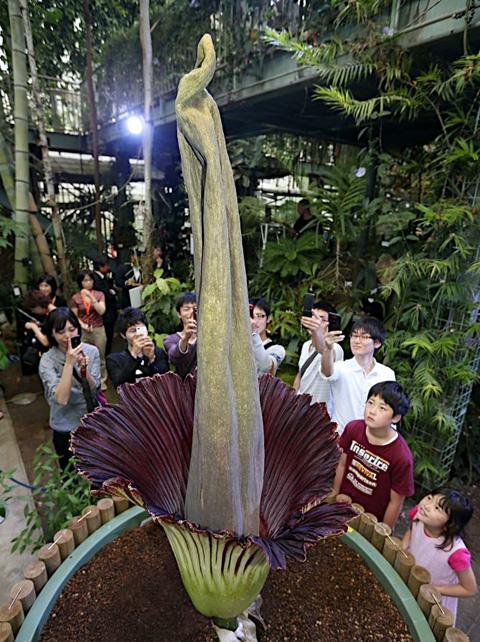 世界上最大最臭泰坦魔芋花在日本科博馆开花