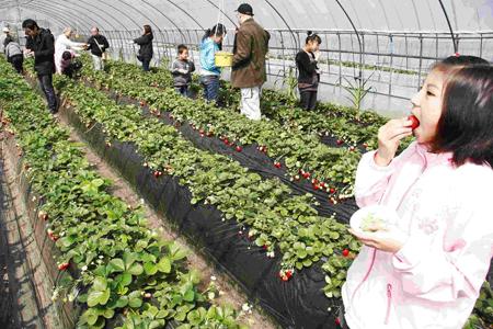 """在""""草莓王国""""采摘草莓"""