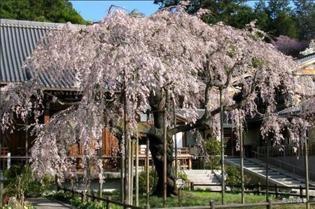 太山寺和枝垂樱