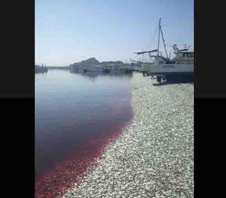 千叶县大原渔港出现大量死亡沙丁鱼