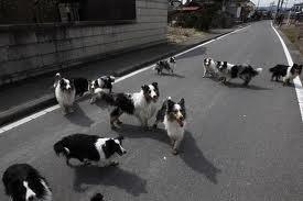 福岛核电站避难区中动物们享受生活引话题