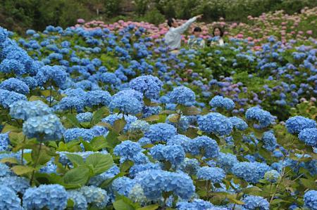 爱知县绣球花乡5万株美丽花色迎来观赏时节