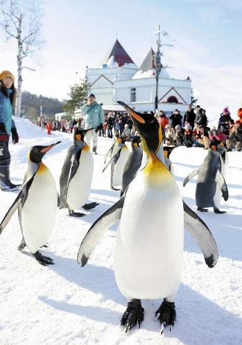 """北海道旭山动物园开始冬季""""企鹅散步""""活动"""