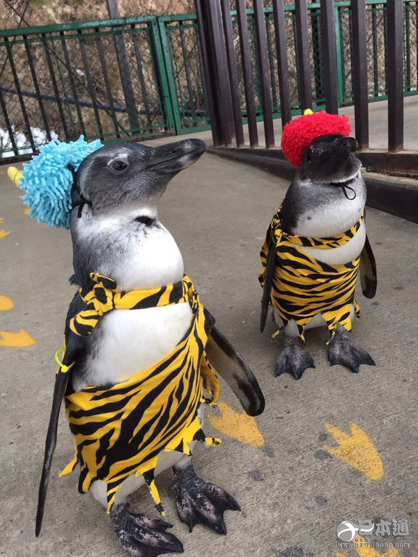 二本松市的东北野生动物园里,在节分日期间,可爱的鬼企鹅代替忙于撒豆子的恶鬼们登场了。 身着饲养员手工制作的虎纹服装,顶着恶鬼犄角的两只可爱的企鹅,都是在去年10月出生的企鹅小宝宝,它们在猴园剧场的大门前等候着游客光临。 鬼企鹅原定于节分日期间的周六日12点半到13点各登场半小时,不过受到了广泛好评后,决定在2月6、7日和13、14日也会登场(根据动物的身体状况,也许会有临时的变动)。这个活动明年也会继续举办。(日本通编译,转载请附原文链接)  日本通微信公众号(ribentong-517japan),欢迎