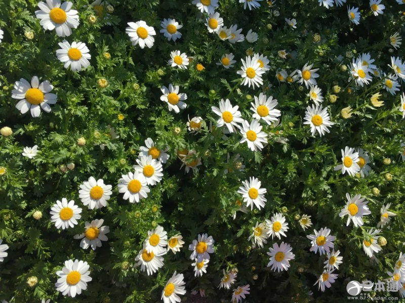 路边的小雏菊,在阳光下传递着它们快乐的信息.