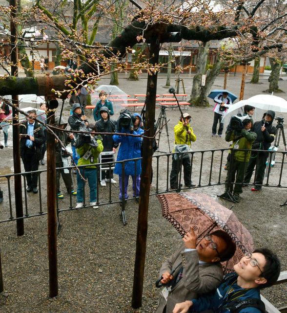 樱花季开始啦!日本气象厅3月21日上午宣布东京的樱花染井吉野已经开放。开花日期与去年相同,与往年的平均开花时间相比早了五天。 昨天东京市区从早上开始下起小雨,最高气温只有9。不过自本月16日以来,东京都一直保持着温暖天气,最高气温在15以上。位于千代田区的标本树昨天上午已有5、6朵樱花绽放,达到了开花标准。  樱花开花约1周后将达到盛开状态。这也是东京的樱花时隔9年在日本最早开花。另外,预计3月底前,日本各地的樱花也将陆续迎来开放。 *开花标准:标本树已有5、6朵樱花绽放 *盛开标准:标本树已80
