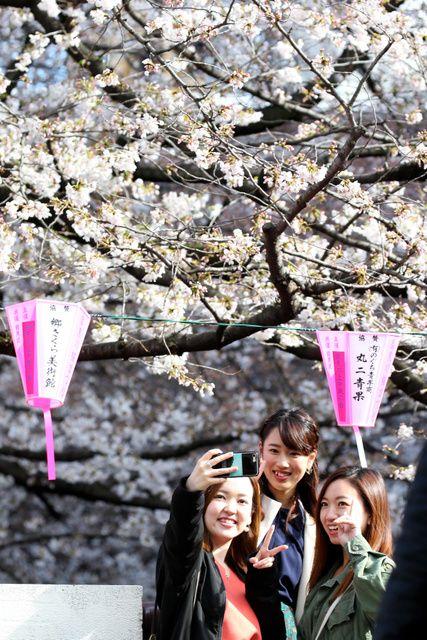 最新日本樱花开放日期预测,福冈最早东京都21日开花