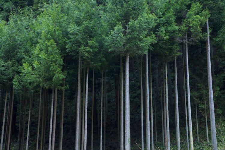 """为保护环境、提高森林利用率,日本生产出世界上首个""""木制吸管"""""""