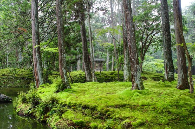 """日本侘寂美学""""使者""""青苔,因气候变化面临危机"""
